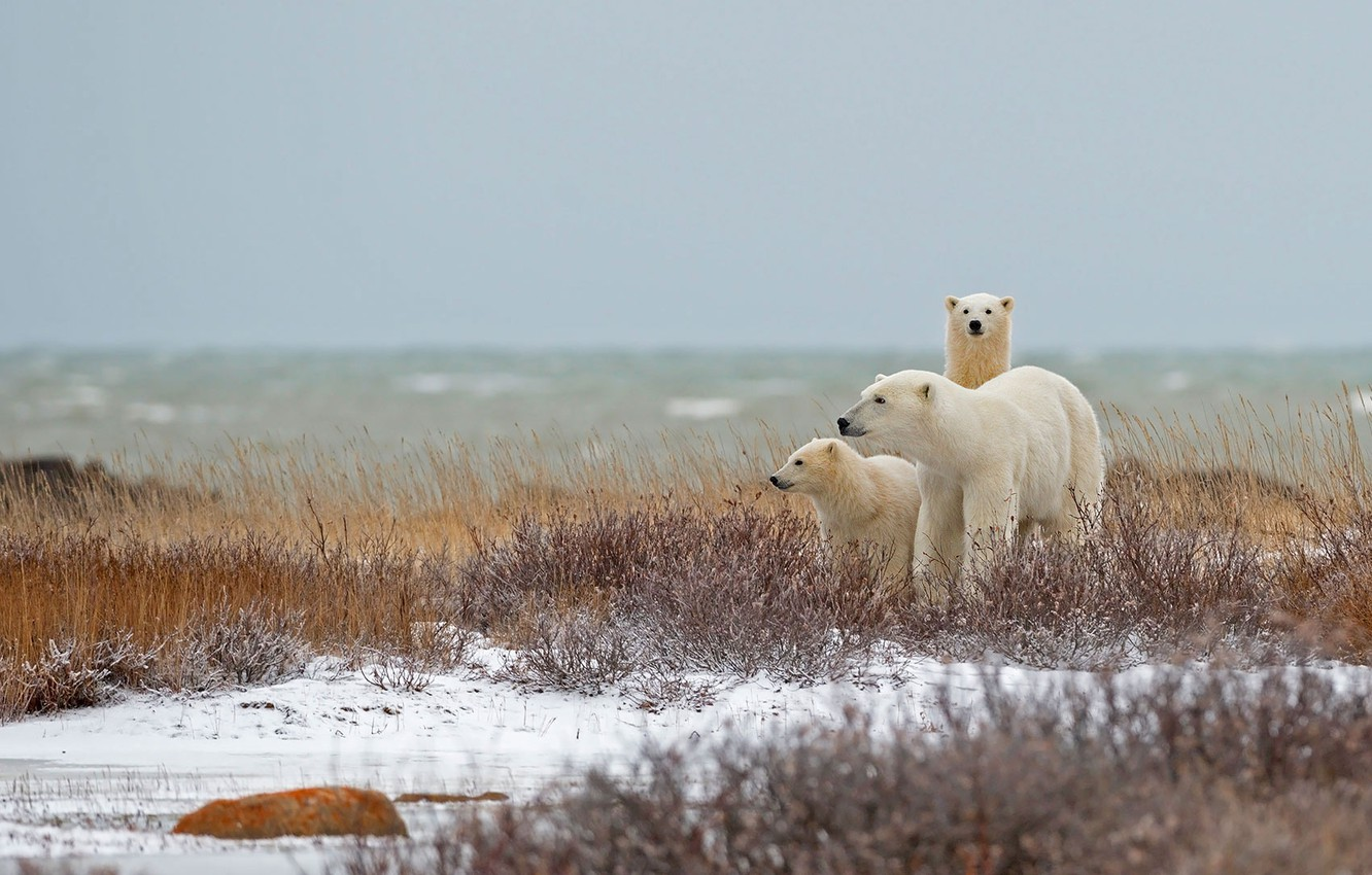 Photo wallpaper family, Canada, polar bear, Manitoba