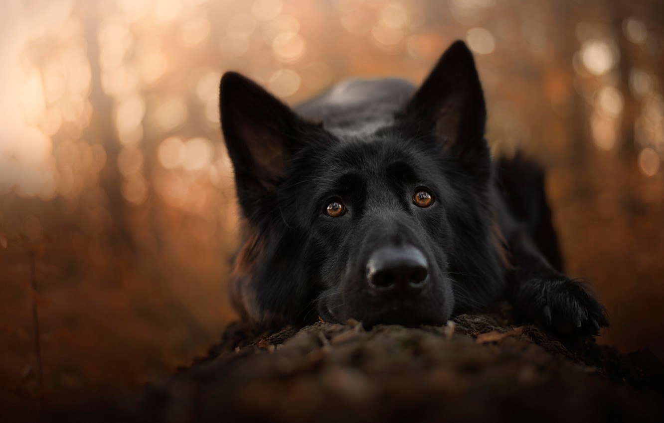 Photo wallpaper sadness, autumn, forest, eyes, look, face, close-up, nature, background, mood, paw, portrait, dog, black, lies, …