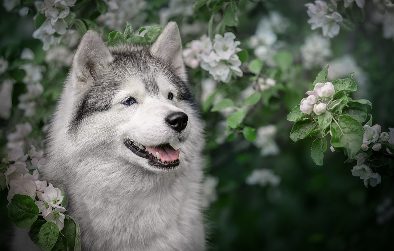 Photo wallpaper face, branches, dog, spring, Apple, flowering, Husky, Svetlana Pisareva