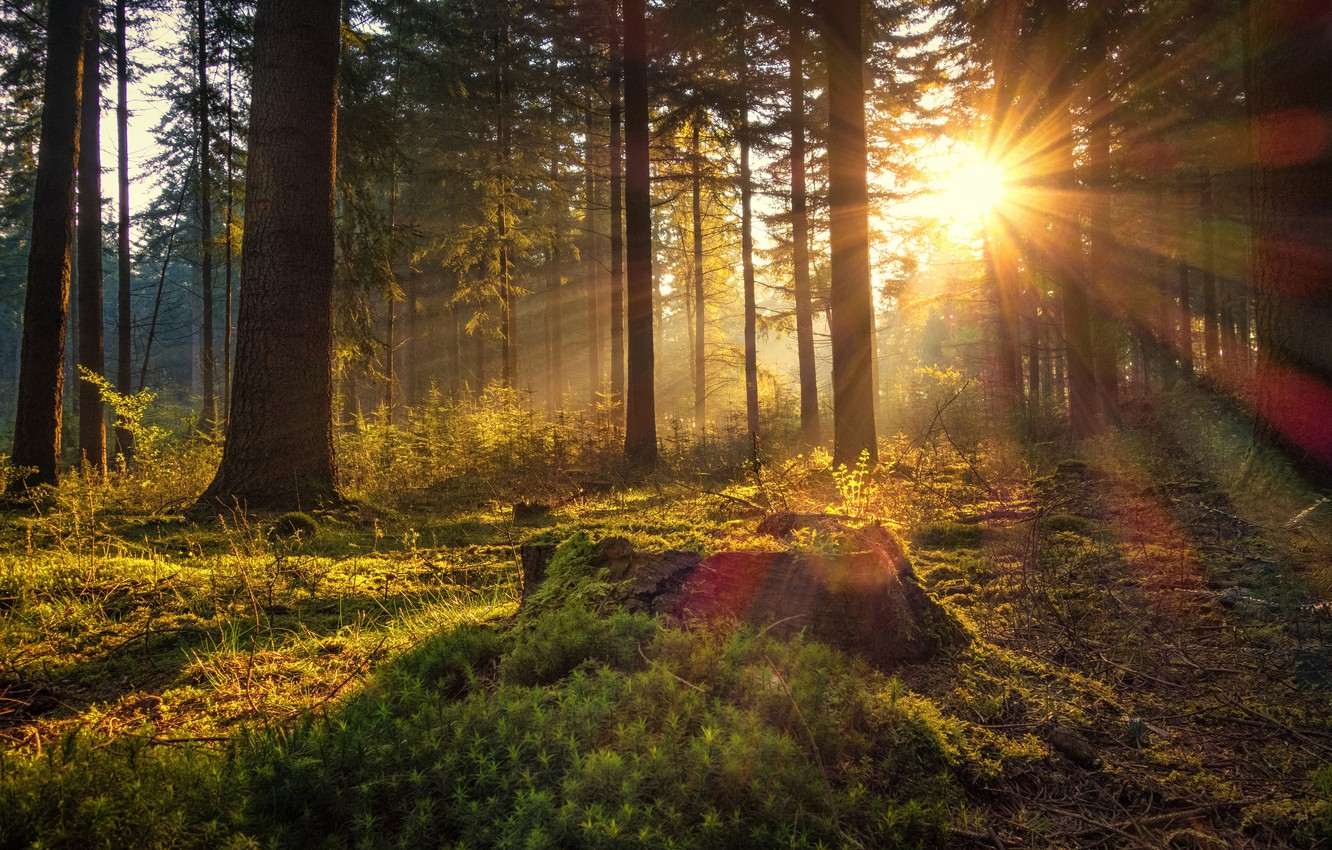 Photo wallpaper forest, the sun, trees, dawn, moss, morning, Germany, Germany, the sun's rays, Lower Saxony, Lower …