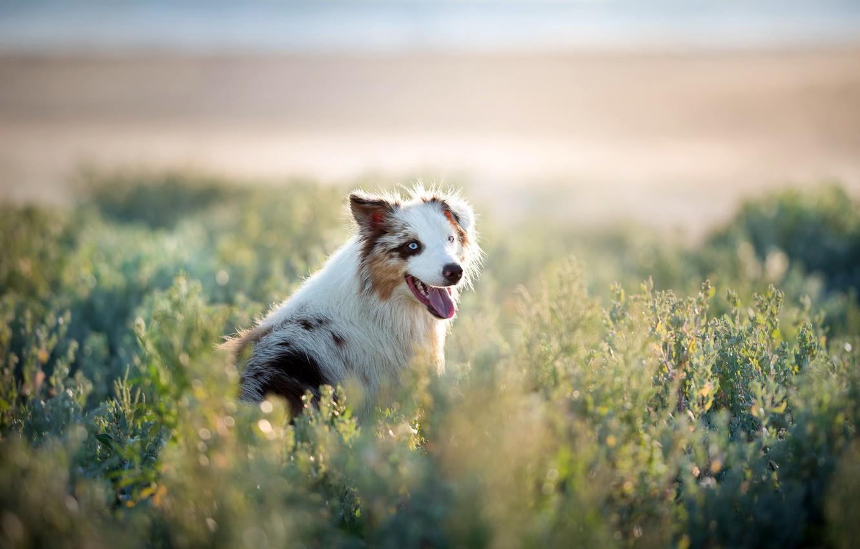 Photo wallpaper field, each, dog