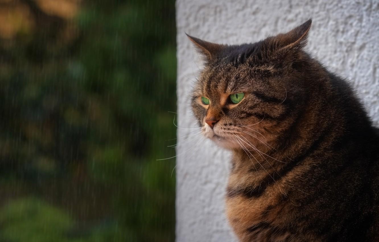 Photo wallpaper cat, cat, nature, rain, portrait