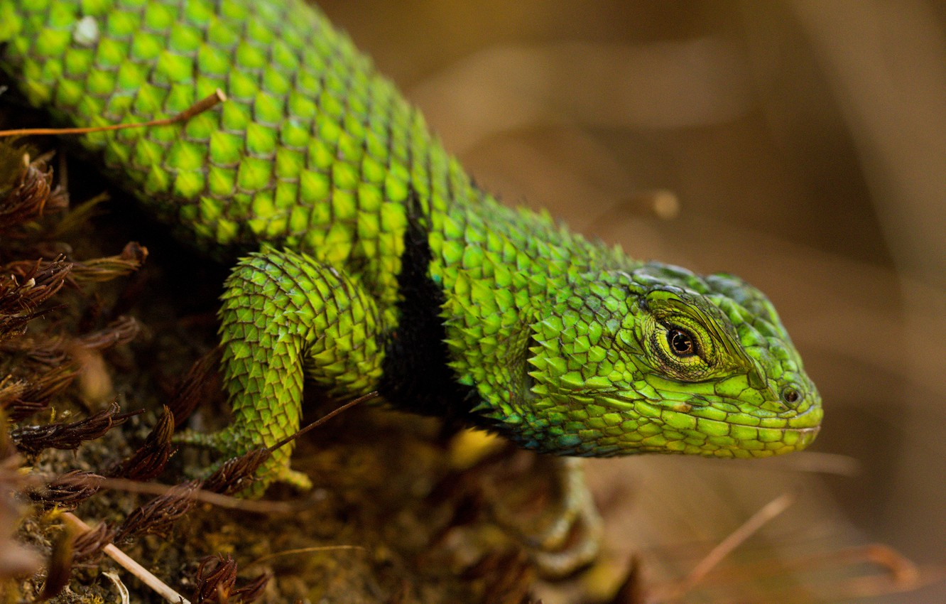 Photo wallpaper look, pose, background, moss, legs, scales, lizard, green, reptile