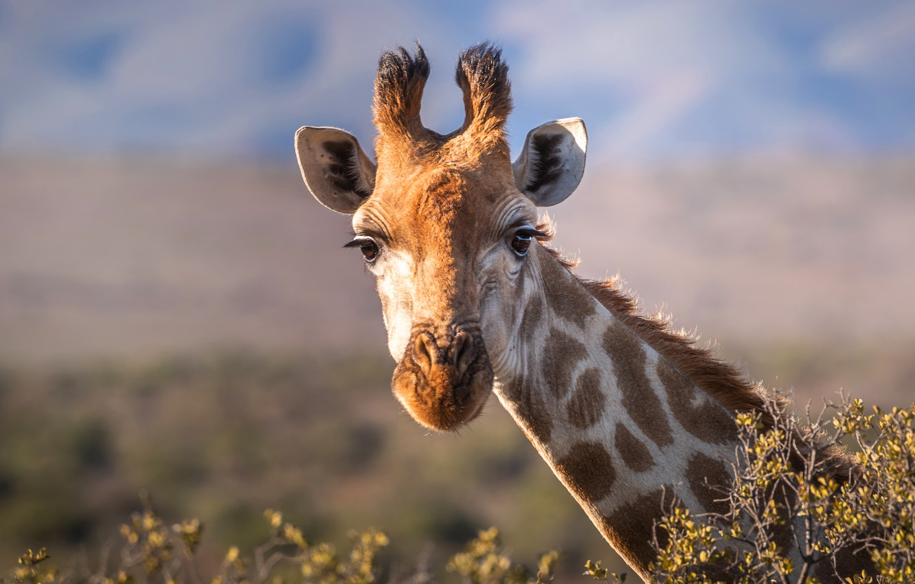 Photo wallpaper field, the sky, eyes, look, face, clouds, light, nature, background, portrait, giraffe, ears, neck, horns