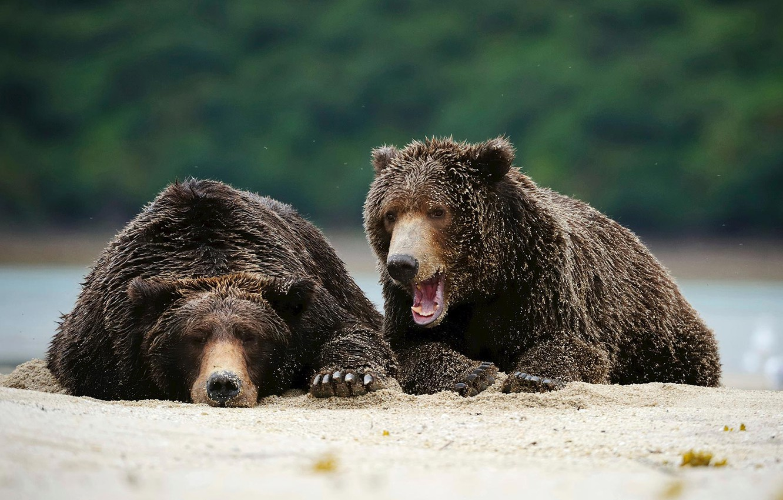 Photo wallpaper predator, Alaska, brown bear