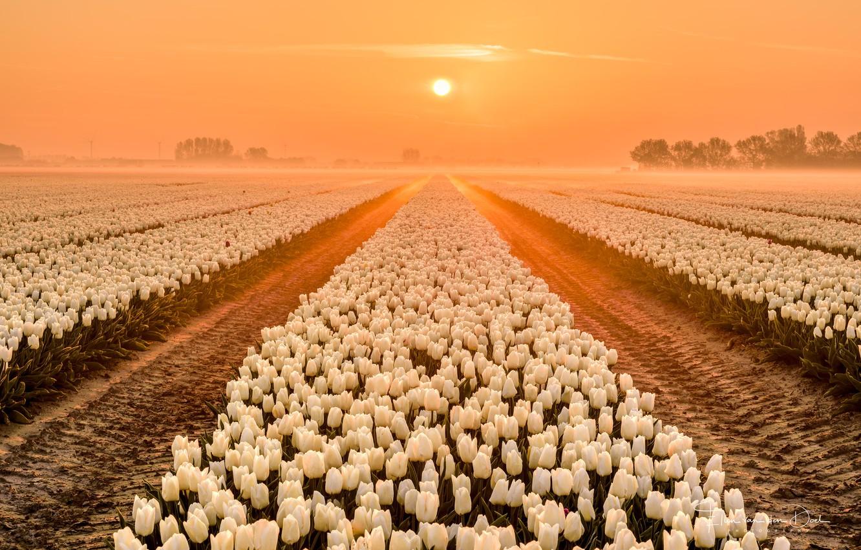 Photo wallpaper field, spring, tulips