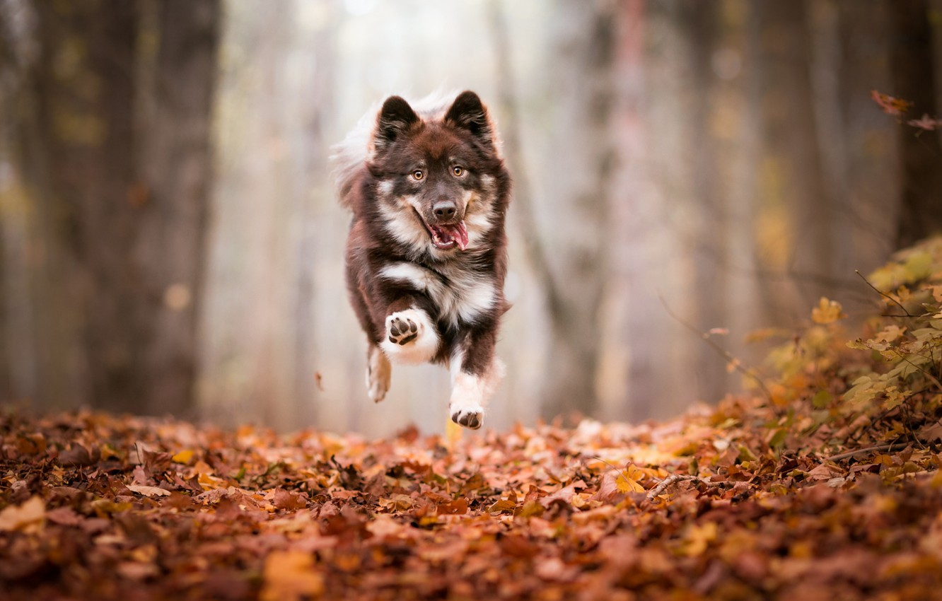 Photo wallpaper autumn, forest, language, look, face, leaves, trees, flight, nature, pose, fog, Park, background, jump, foliage, …