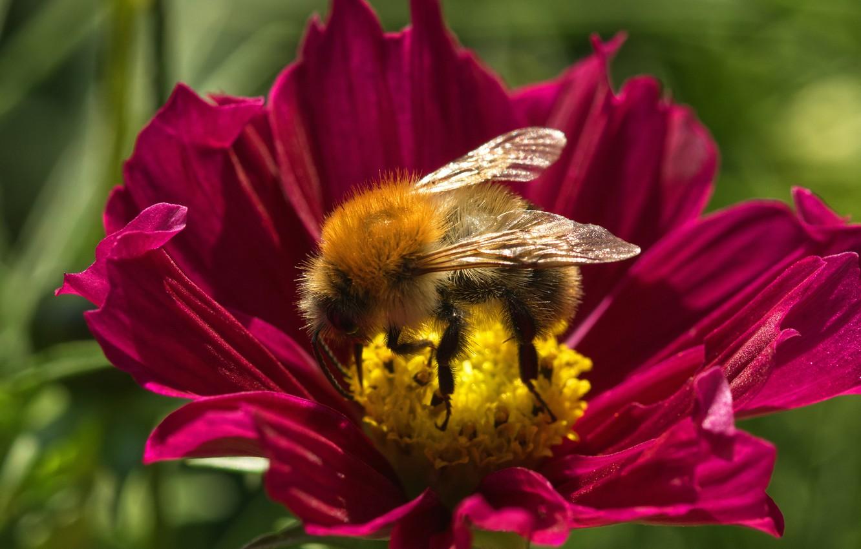 Photo wallpaper flower, summer, macro, bee