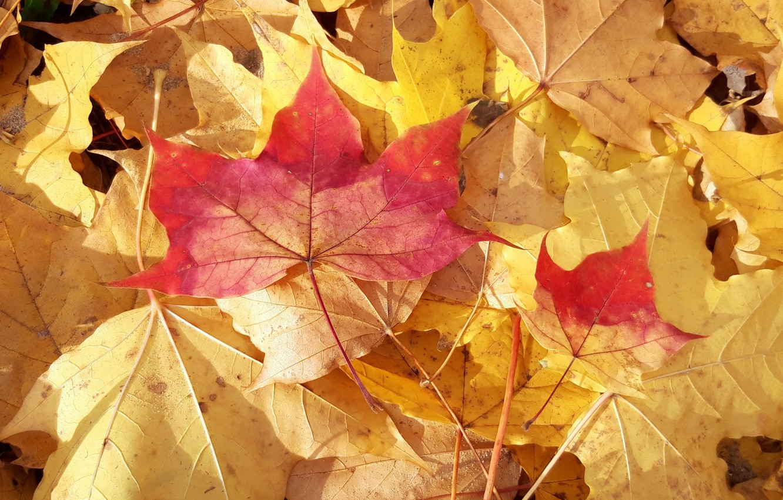 Photo wallpaper leaves, maple, A bit of autumn