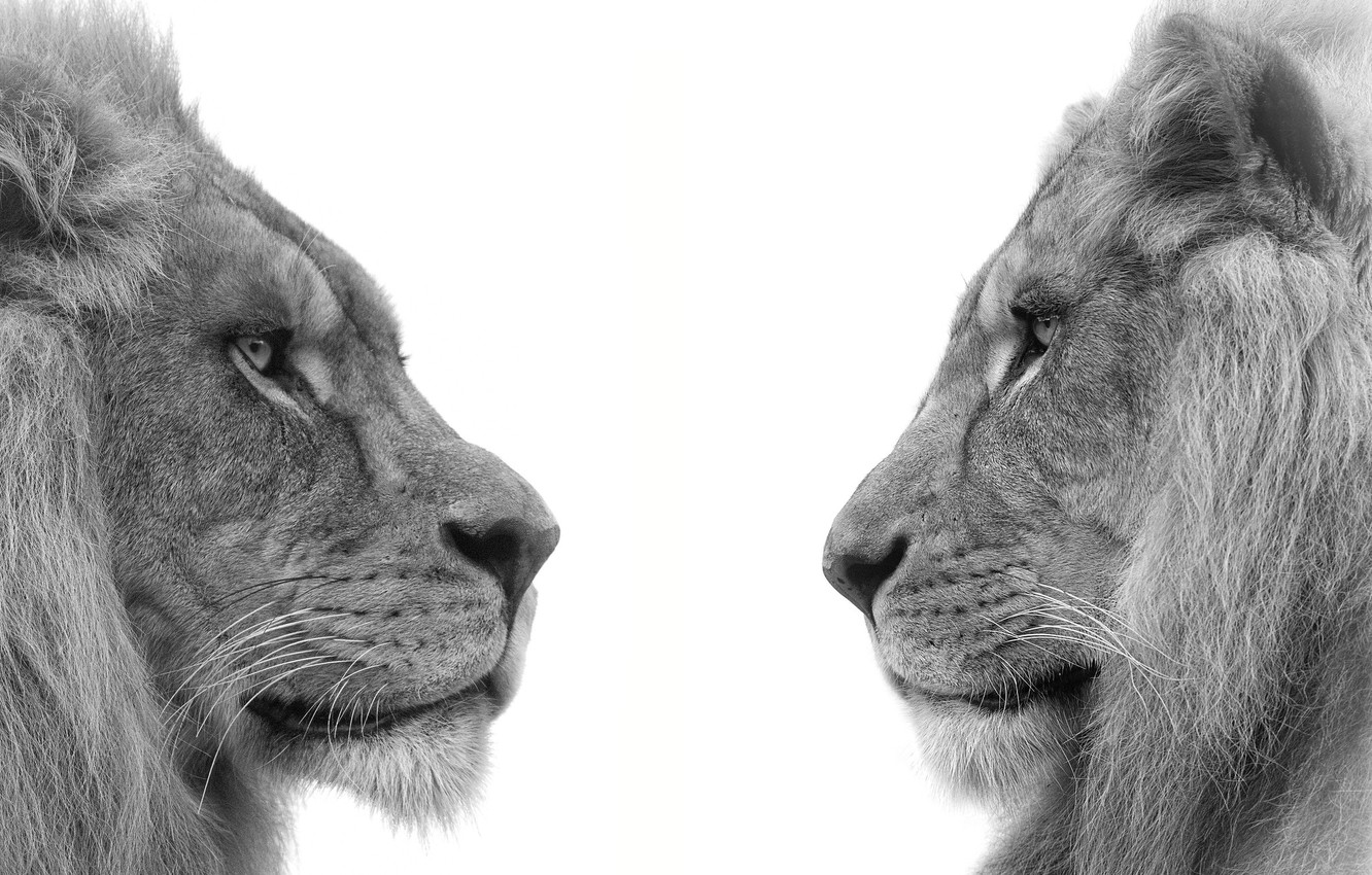 Photo wallpaper profile, lions, brothers, mane