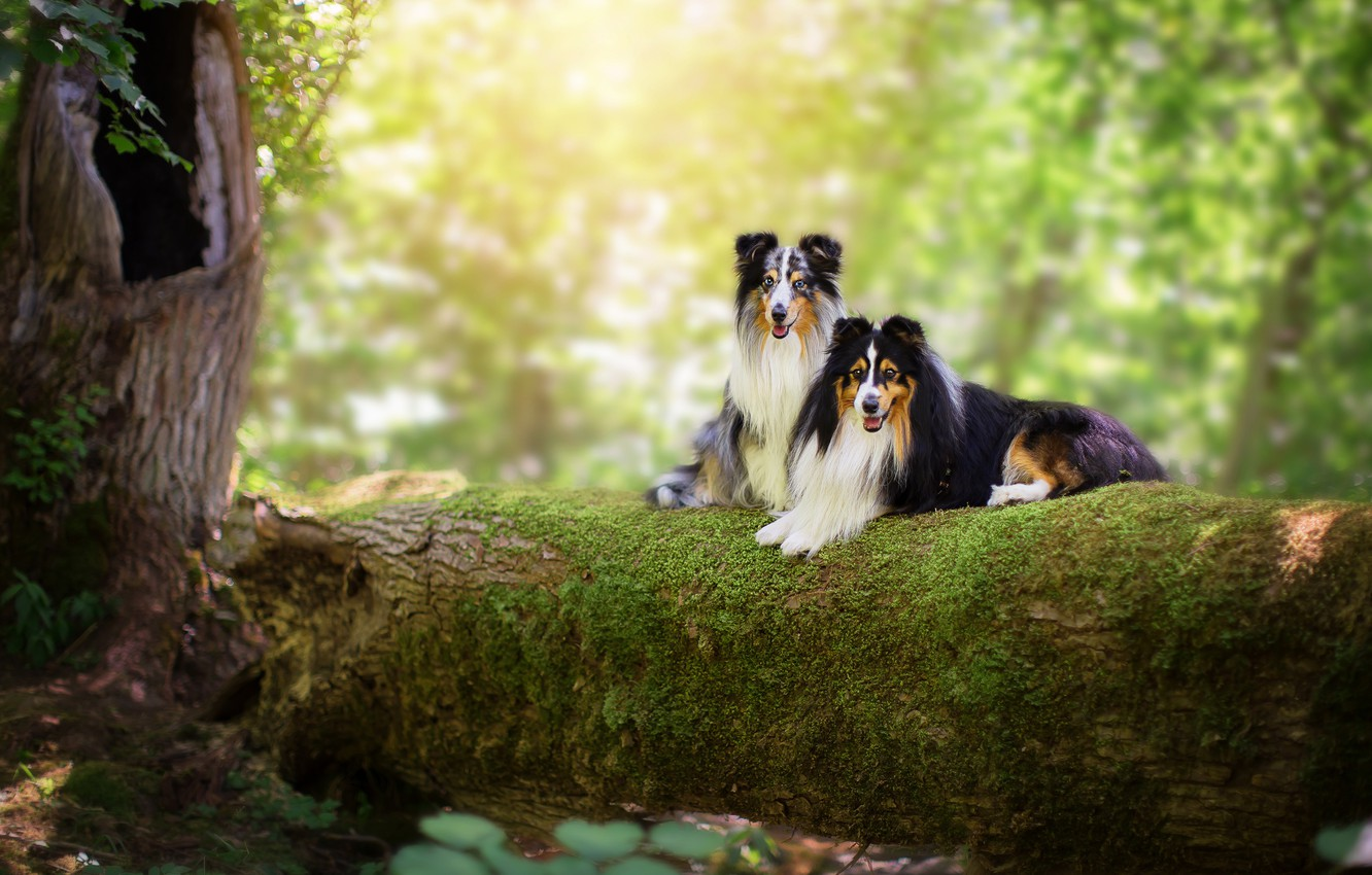 Photo wallpaper forest, language, dogs, summer, look, leaves, light, branches, nature, background, tree, two, moss, pair, log, ...