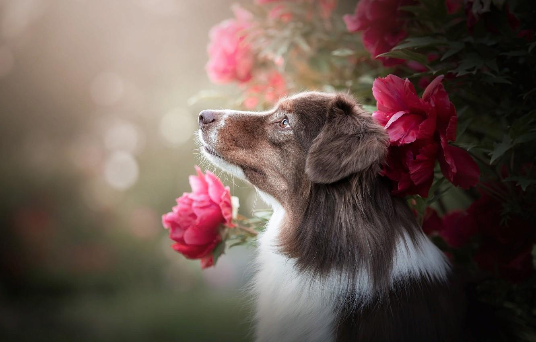 Photo wallpaper flowers, nature, animal, Bush, dog, profile, dog, bokeh, Aussie
