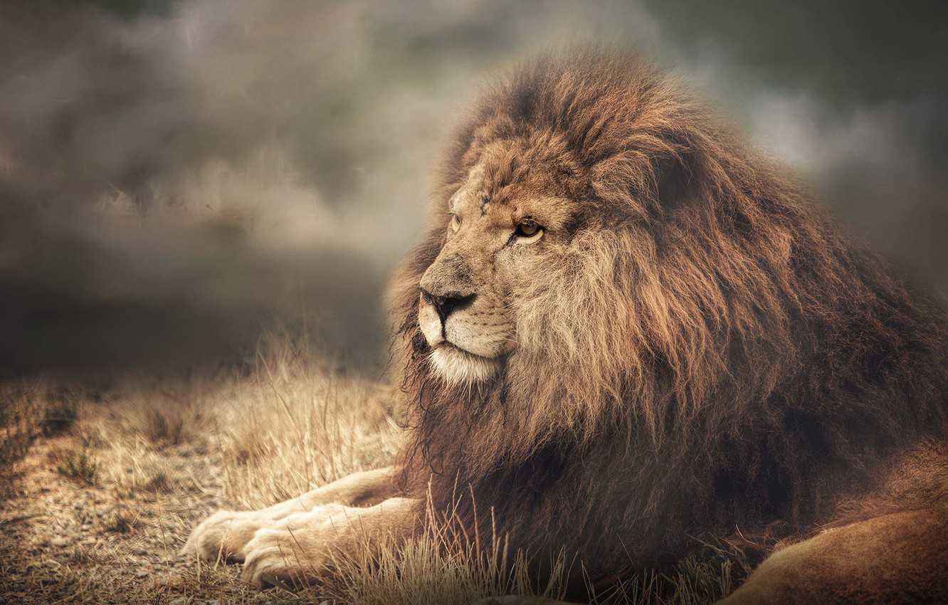 Photo wallpaper face, portrait, Leo, mane, the king of beasts, wild cat