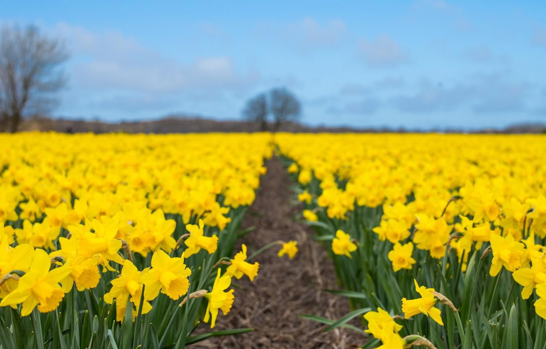 Photo wallpaper nature, spring, plantation, Narcissus