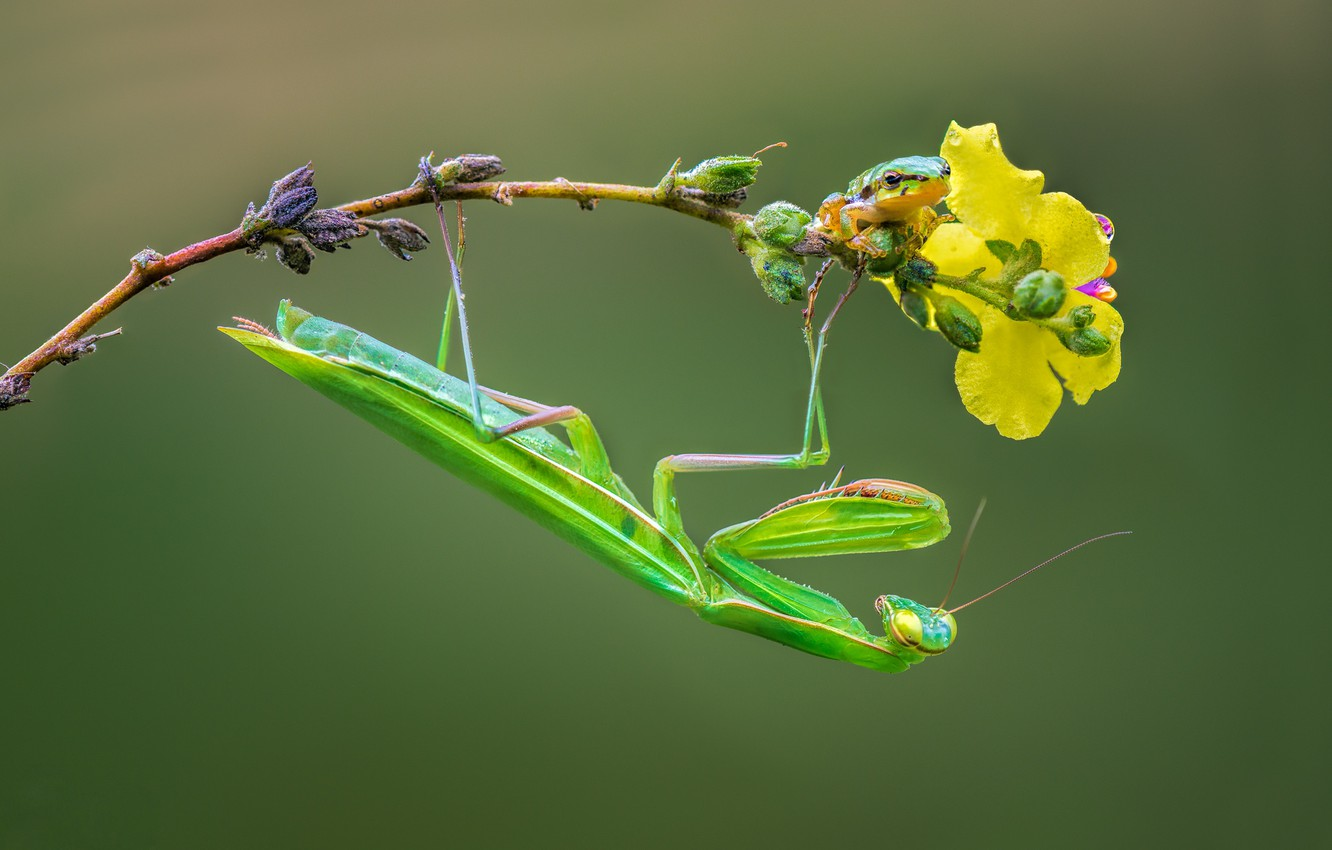 Photo wallpaper branch, mantis, insect, treefrog