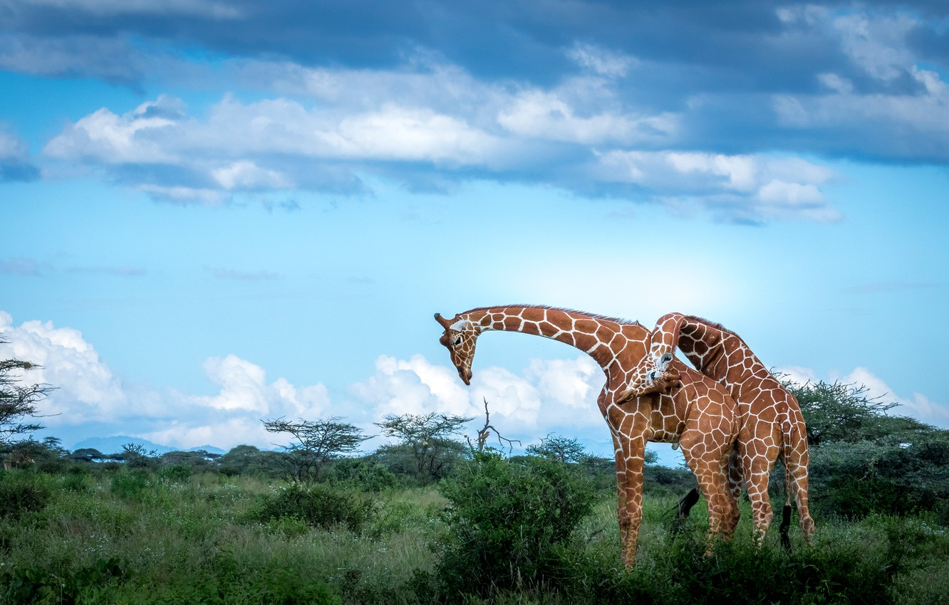 Photo wallpaper the sky, clouds, nature, pose, blue, giraffe, pair, giraffes, two, shrubs