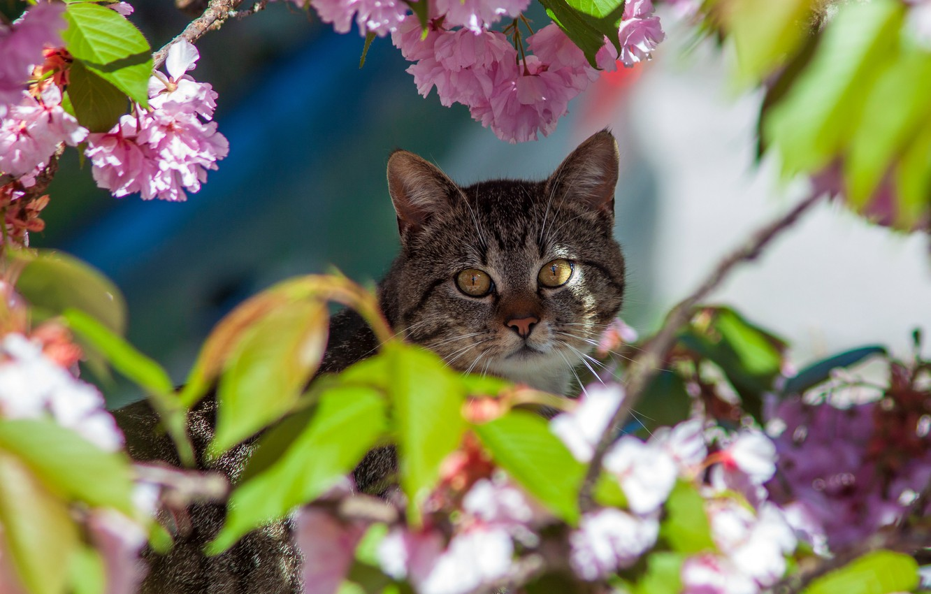 Photo wallpaper cat, cat, look, face, flowers, grey, portrait, spring, pink, striped, flowering