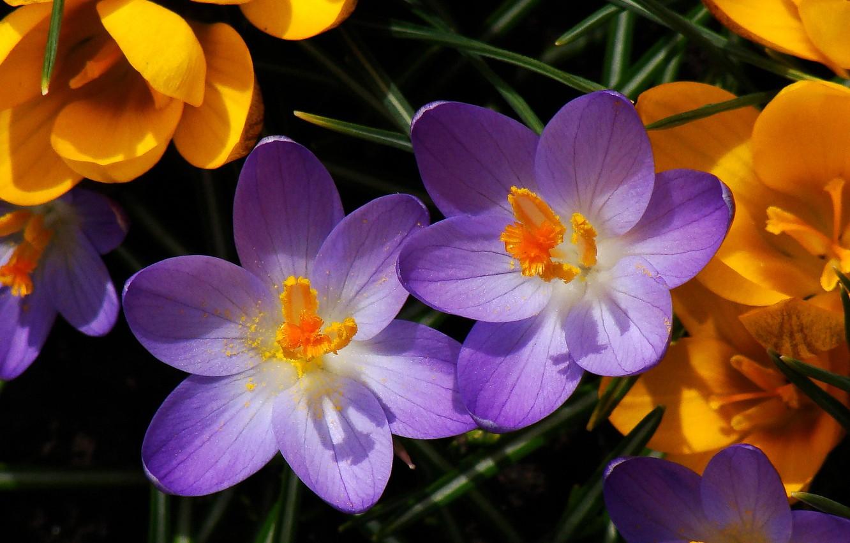 Photo wallpaper macro, petals, stamens, Crocuses, Saffron