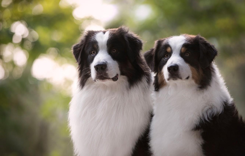 Photo wallpaper dogs, look, portrait, a couple, Duo, Australian shepherd, Aussie