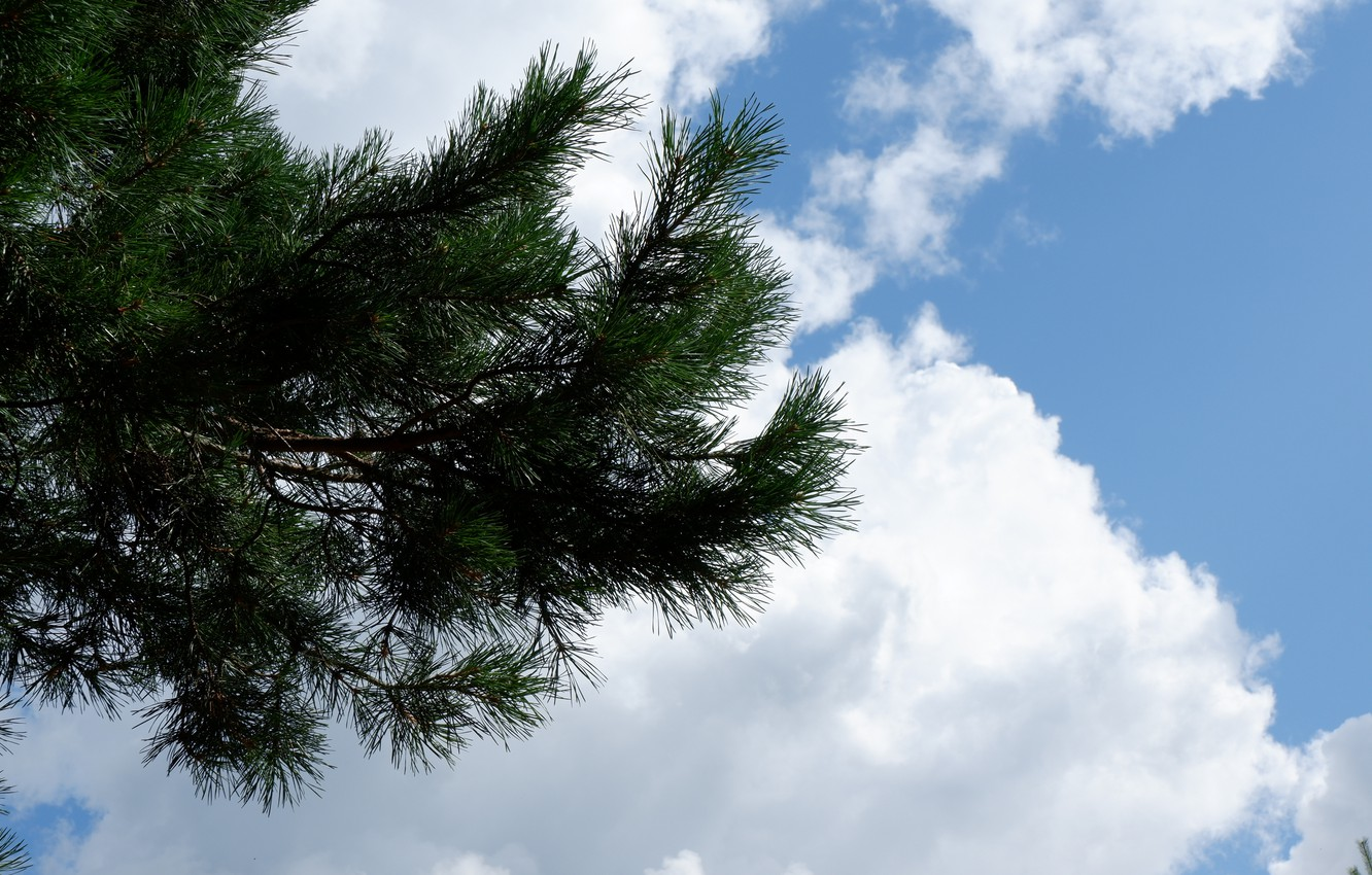 Photo wallpaper white, the sky, clouds, needles, green, blue, branch, pine