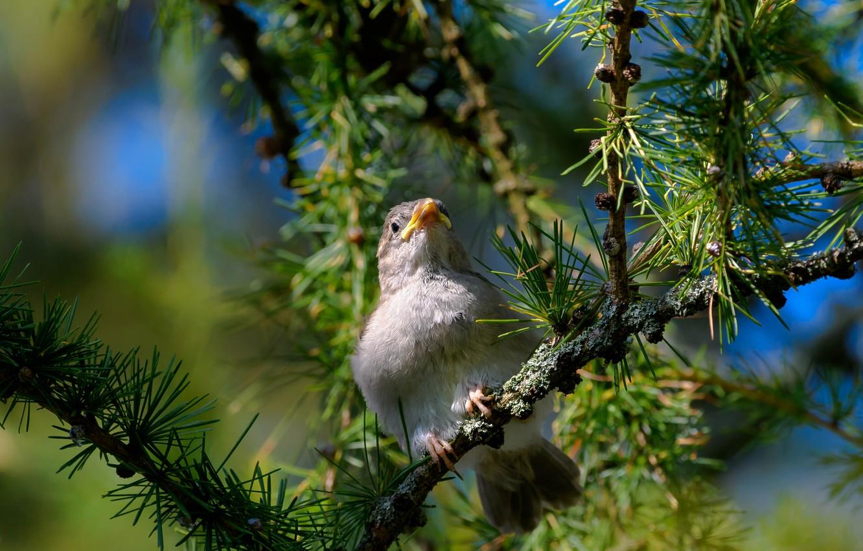 Photo wallpaper bird, branch, needles, bokeh