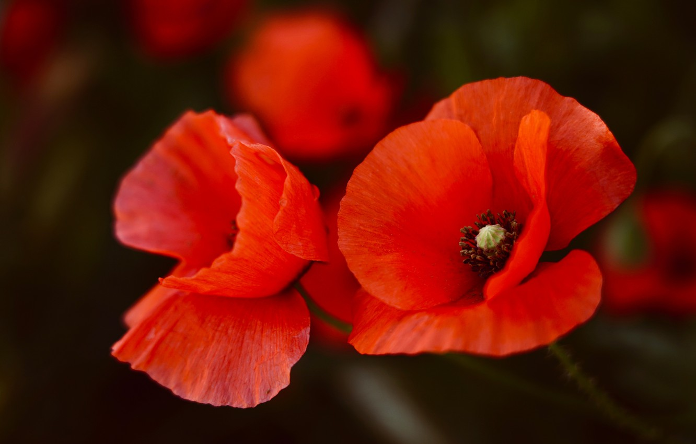 Photo wallpaper flowers, the dark background, background, Maki, red, Duo, al