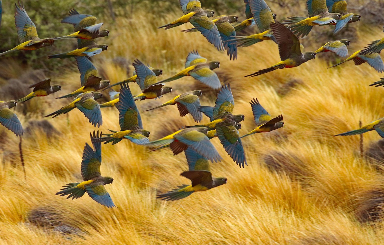 Photo wallpaper flight, birds, pack, Argentina, rocky parrot