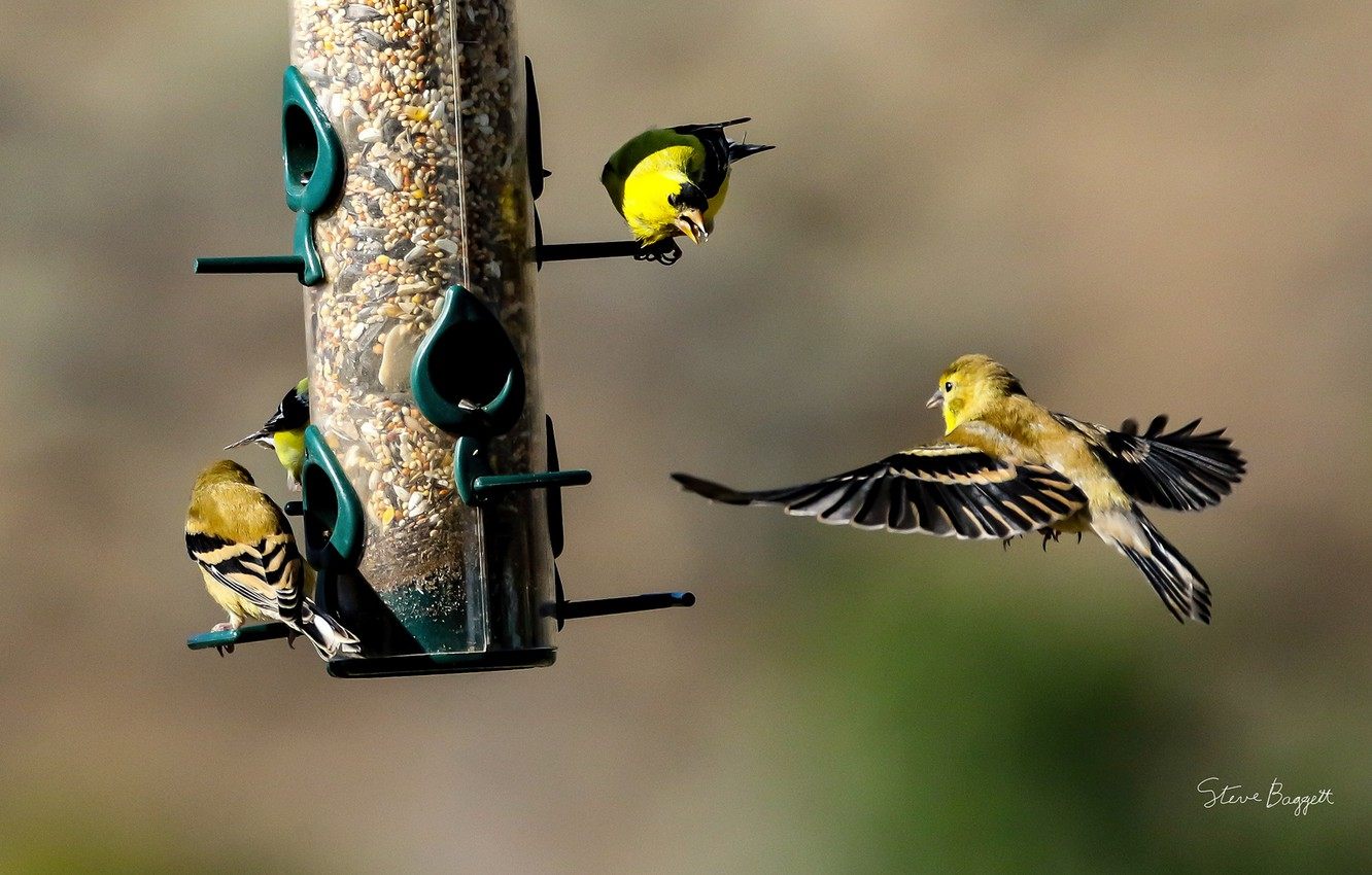 Photo wallpaper birds, food, feeder, finches, Finches