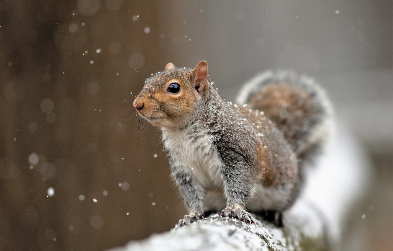 Photo wallpaper snow, protein, rodent, pet