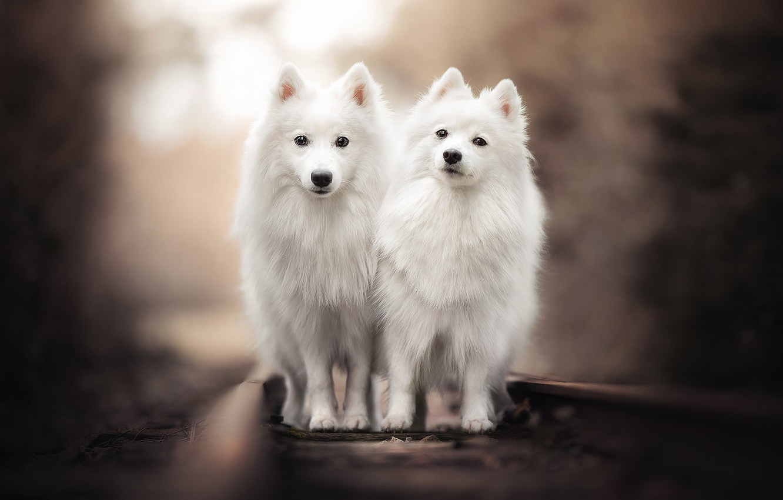 Photo wallpaper rails, railroad, a couple, bokeh, two dogs, twins, The Japanese Spitz