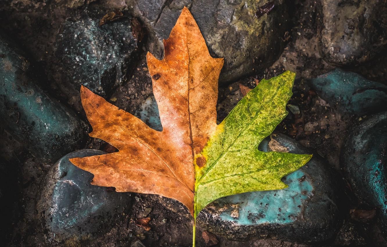 Photo wallpaper macro, sheet, stones, leaf, maple