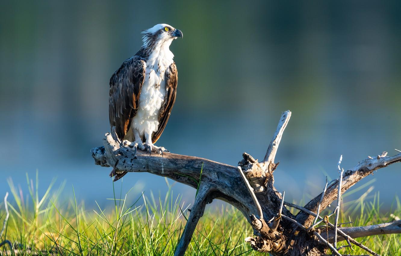 Photo wallpaper bird, predator, snag, osprey