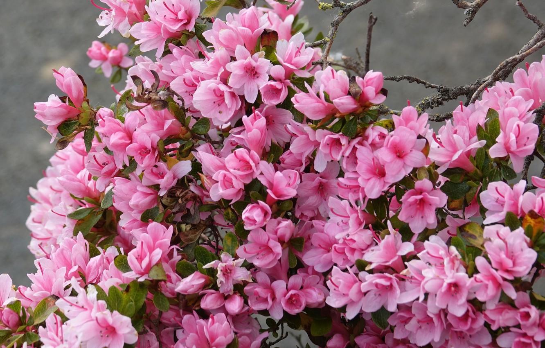 Photo wallpaper flowers, branches, Bush, pink