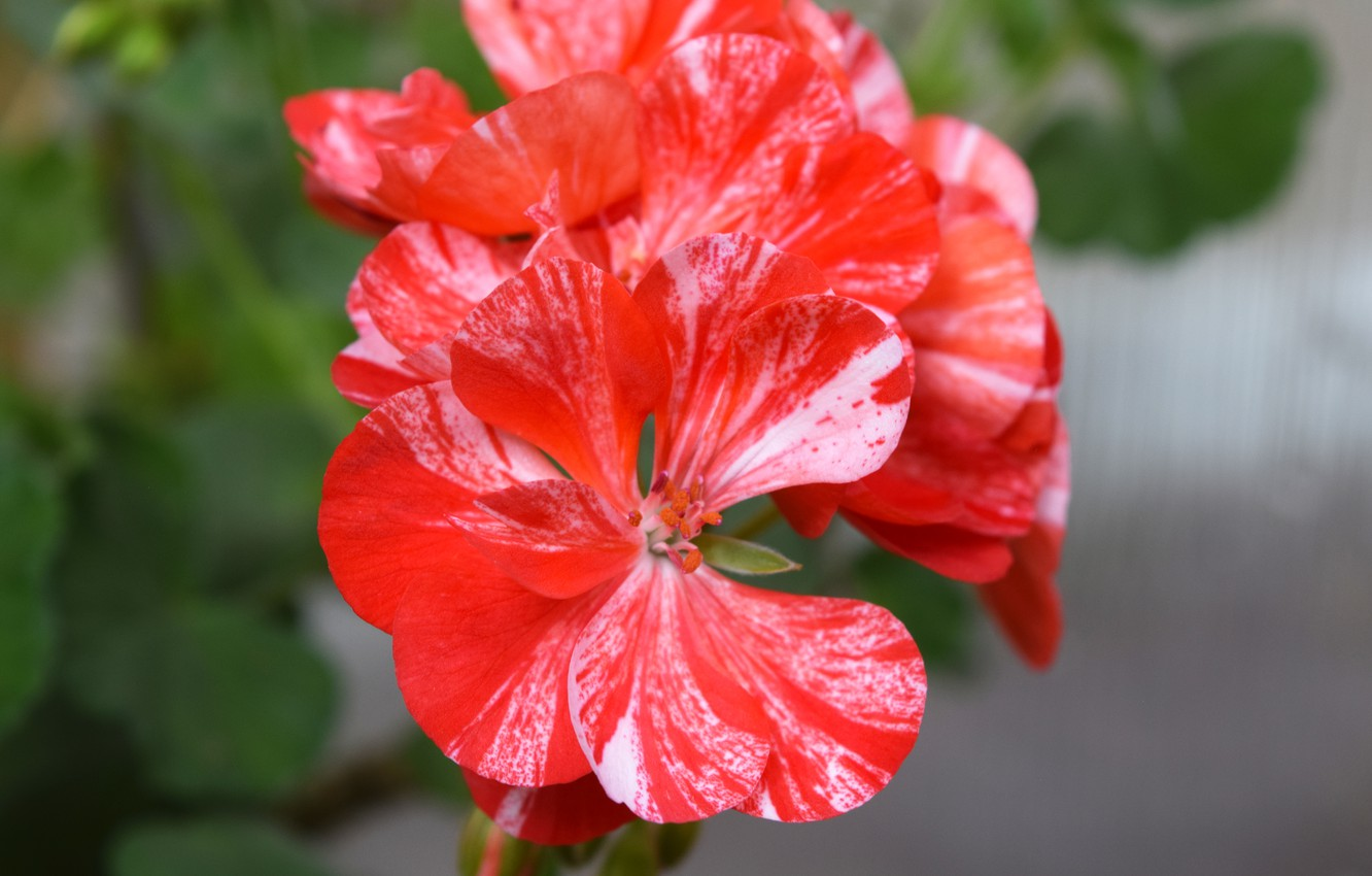 Photo wallpaper red, red flower, geranium, widescreen pictures