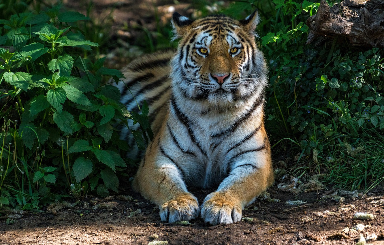Photo wallpaper greens, grass, face, the sun, nature, tiger, predator, paws, lies, handsome, nettle
