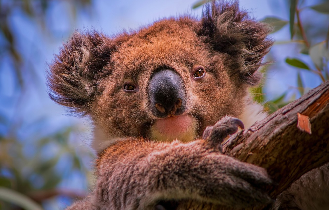 Photo wallpaper tree, portrait, face, Koala