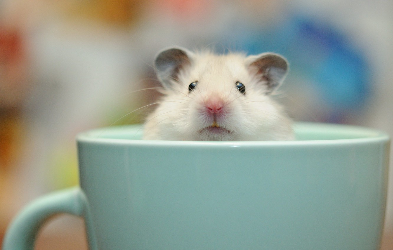 Photo wallpaper background, Cup, Guinea pig