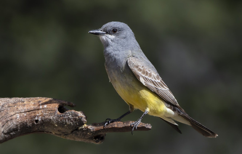 Photo wallpaper bird, branch, Royal Tyrann Cassina