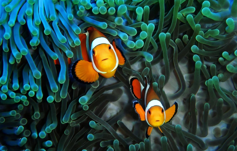 Wallpaper Fish Fish Under Water Clown Fish Sea Anemones
