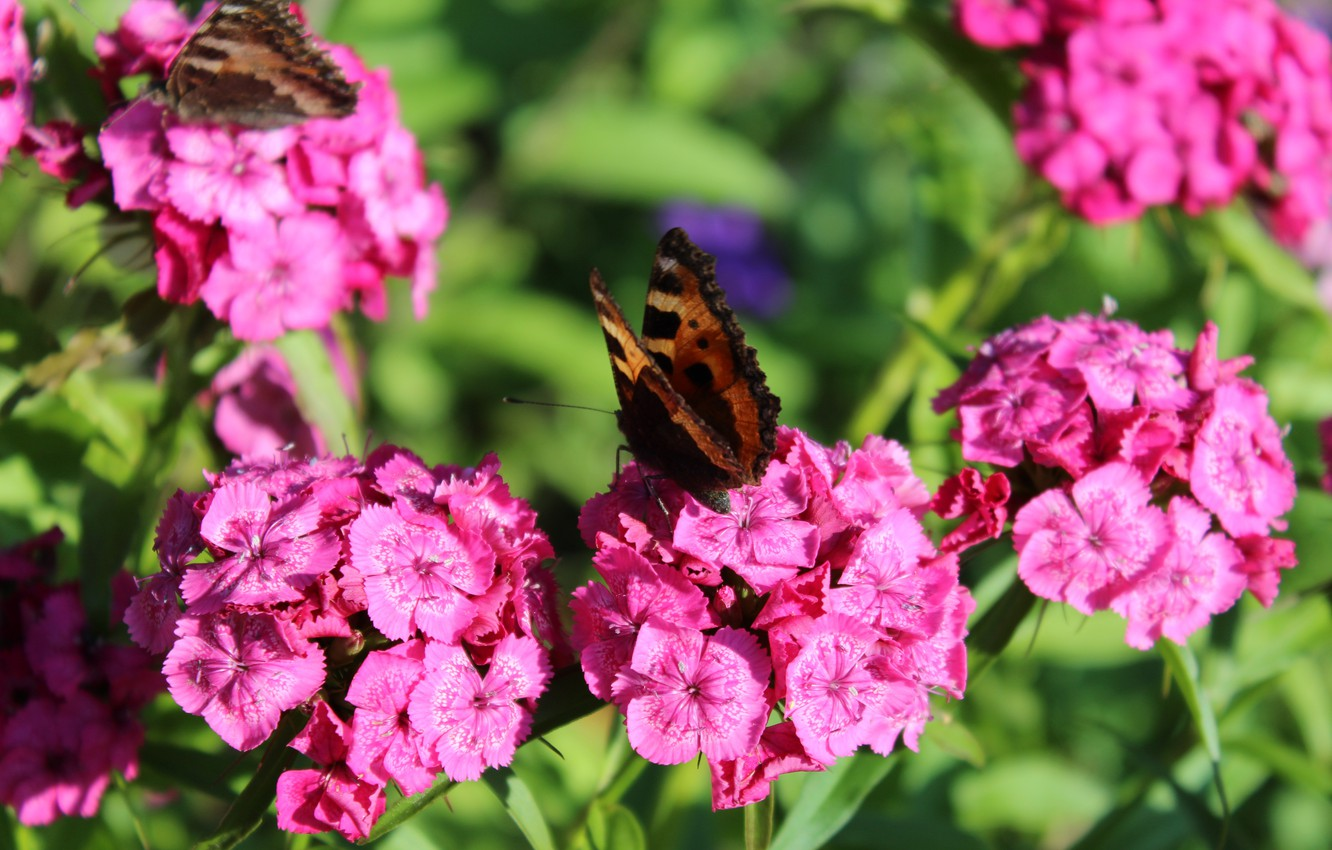 Photo wallpaper flowers, nature, pink, spring, Butterfly, carnation