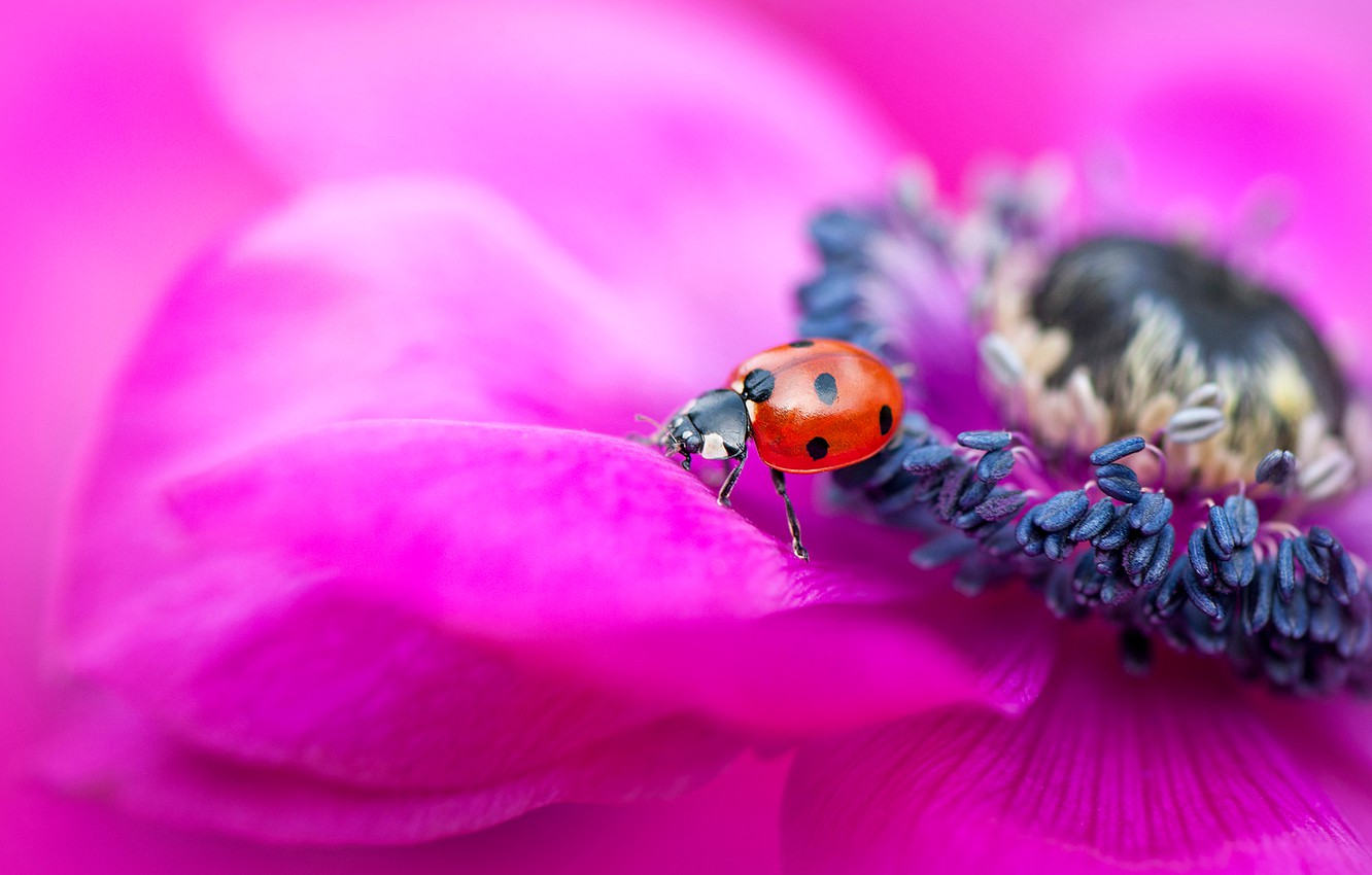 Photo wallpaper flower, macro, red, bright, background, pink, ladybug, beetle, blur, petals, stamens, insect, anemone, bug
