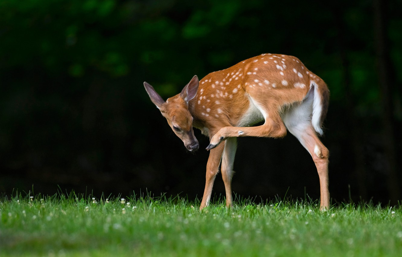 Photo wallpaper grass, pose, the dark background, glade, Bambi, deer, baby, fawn, hoof