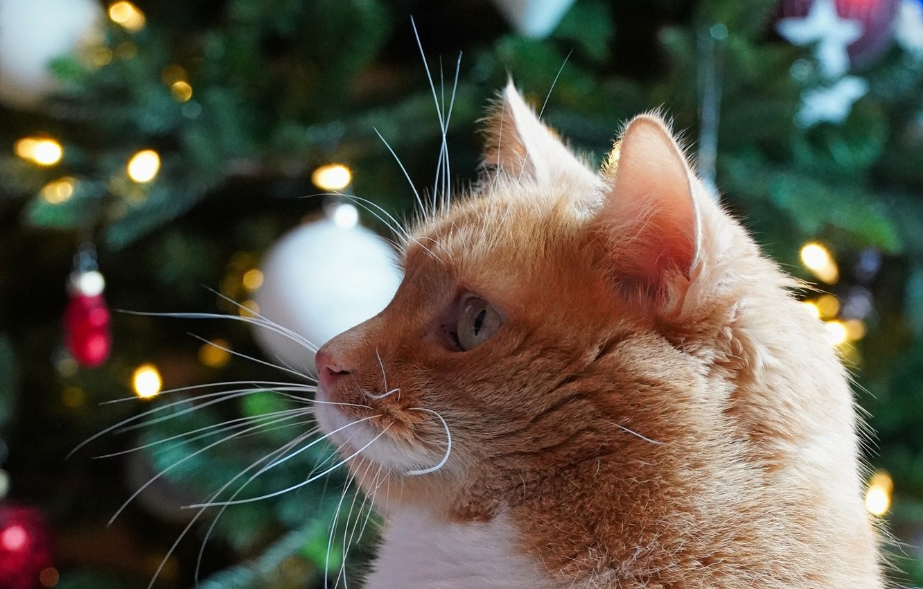 Photo wallpaper muzzle, bokeh, Christmas tree, red cat