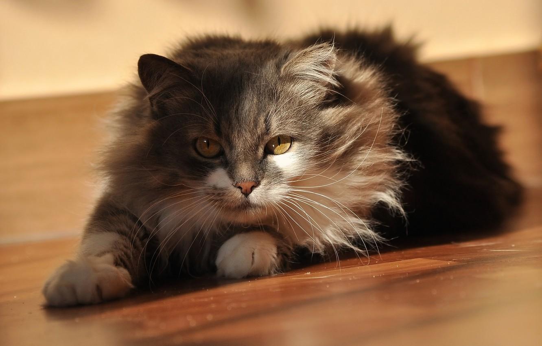 Photo wallpaper cat, cat, look, light, pose, grey, fluffy, lies, shadows