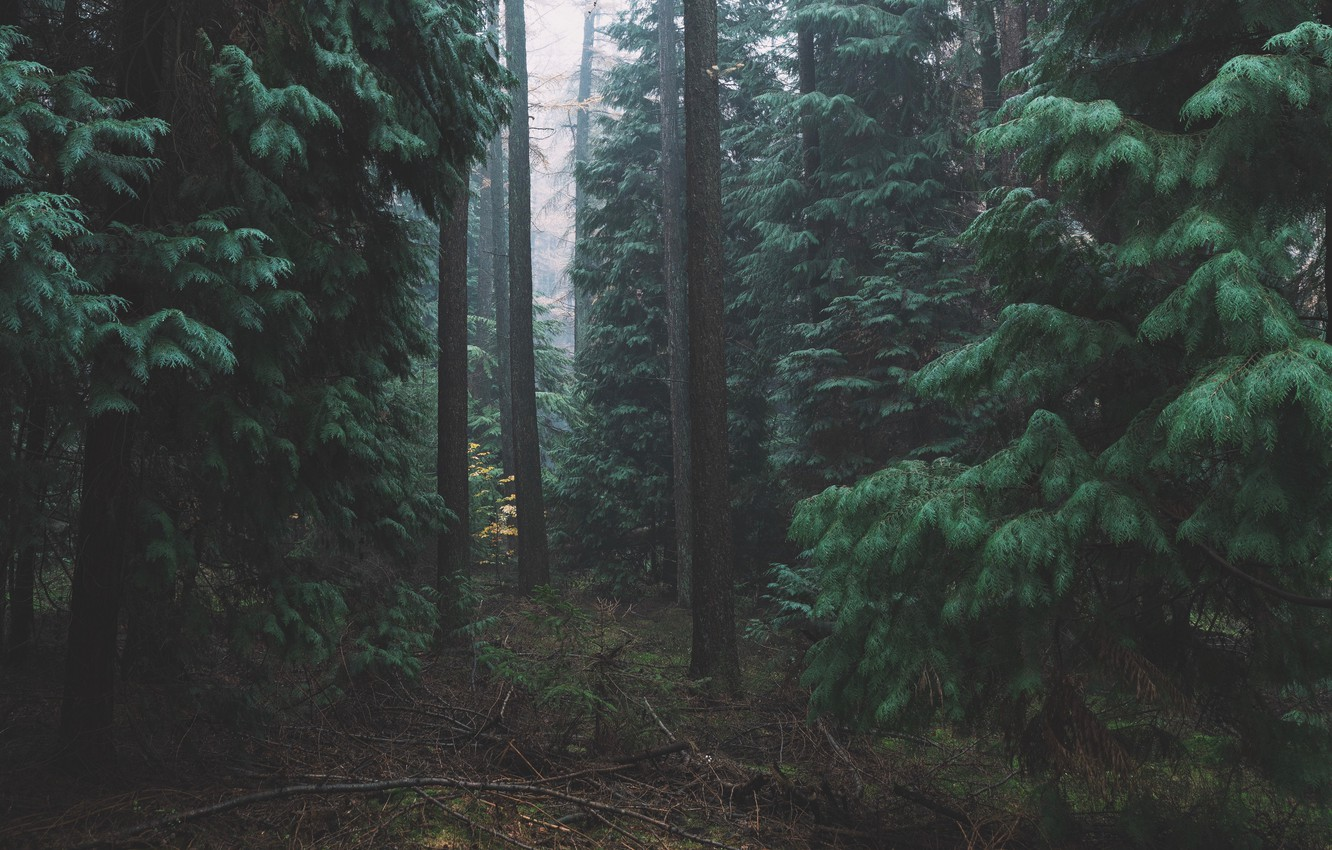 Photo wallpaper forest, trees, nature, needles