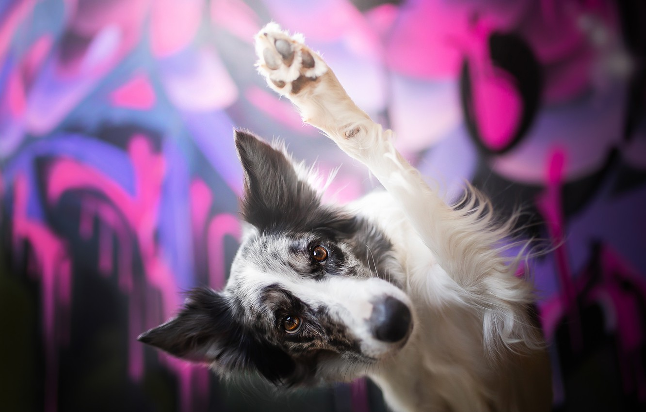 Photo wallpaper look, face, background, paw, dog, greeting, The border collie