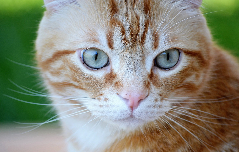 Photo wallpaper cat, eyes, cat, look, portrait, red, muzzle, cat