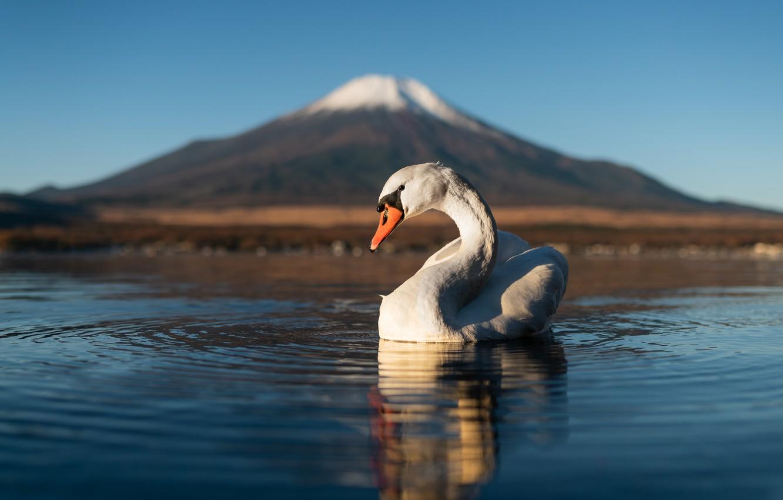 Photo wallpaper water, lake, bird, mountain, the volcano, Japan, Swan, Fuji