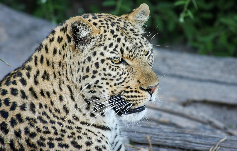 Photo wallpaper mustache, face, head, leopard