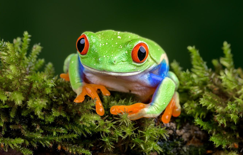Photo wallpaper frog, tree frog, red-eyed treefrog